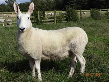 Border Leicester ewes for sale