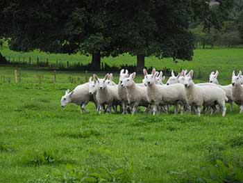 Border Leicester shearling ewes for sale