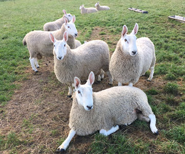 Border Leicester rams for sale