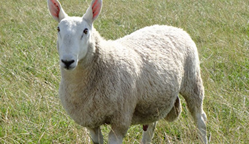 Border Leicester ram for sale